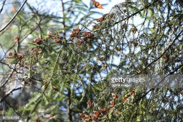 Monarch butterflies 'Danaus Plexippus' are seen on a tree branch in the forests of Oyamel during their migration to Mexico from August to October to...