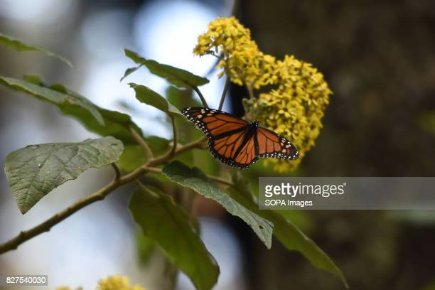 Monarch butterflies 'Danaus Plexippus' is seen in the forests of Oyamel during his migration to Mexico from August to October to escape the low...