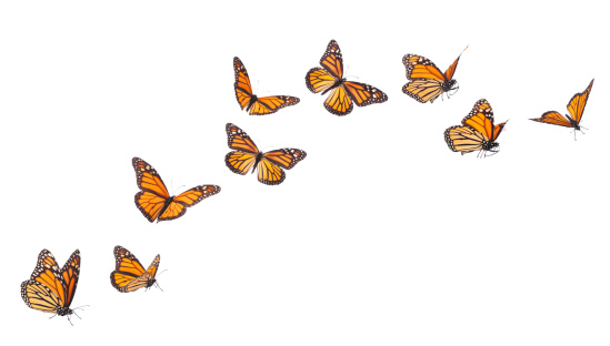 Monarch Butterflies in various flying positions isolated on white 185302115