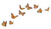 Monarch Butterflies in various flying positions isolated on white