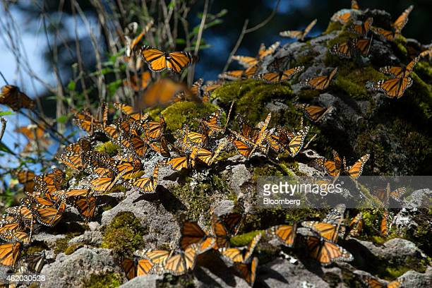 Monarch butterflies land on a rock at the Sierra Chincua Butterfly Sanctuary near Angangueo in the state of Michoacan Mexico on Friday Jan 16 2015...