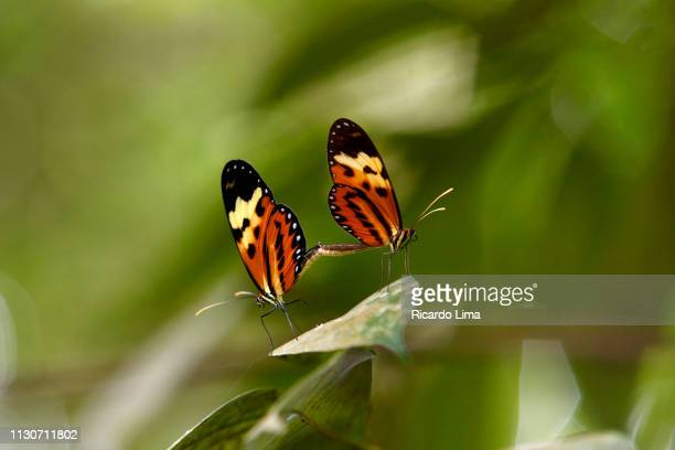 monarch butterflies (arthropoda) mating among lush foliage in amazon region, brazil - lima animal stock pictures, royalty-free photos & images