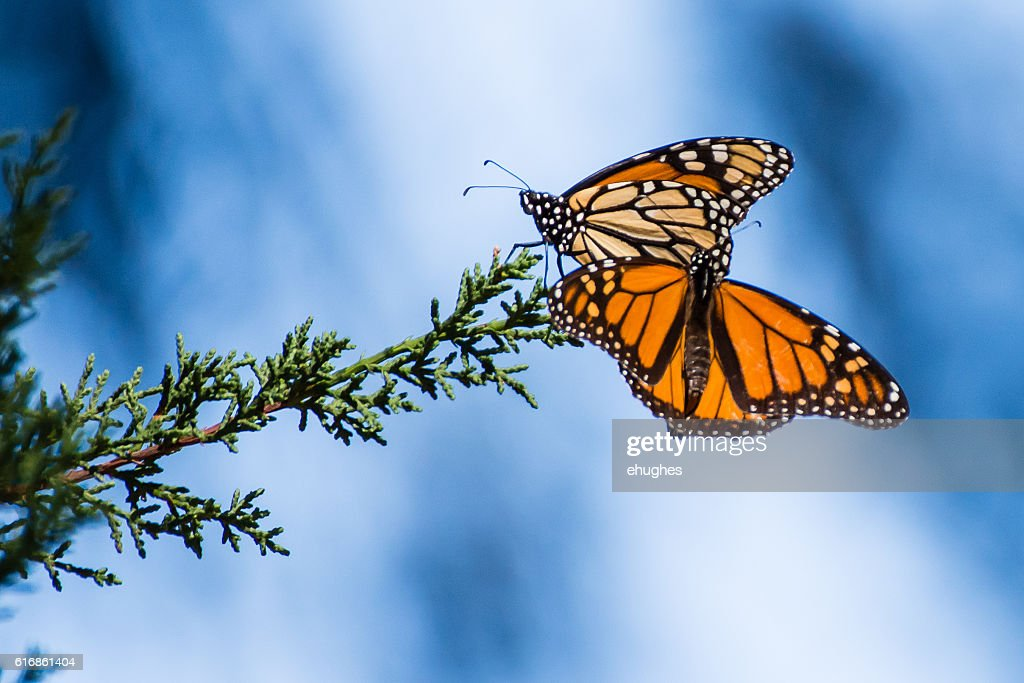 Monarch Butterflies on Evergreen branch : Stock Photo