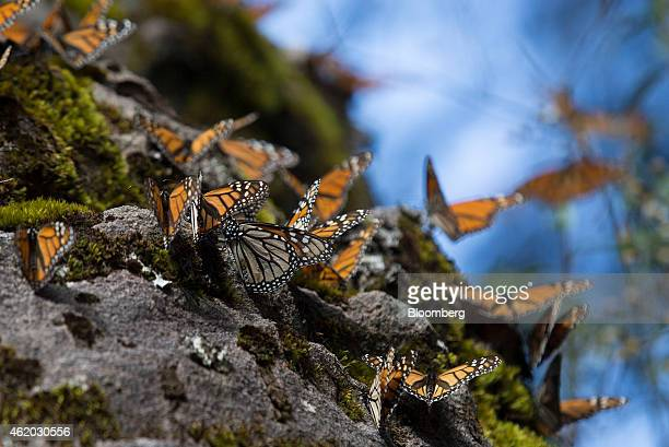 Monarch butterflies rest on a rock at the Sierra Chincua Butterfly Sanctuary near Angangueo in the state of Michoacan Mexico on Friday Jan 16 2015...