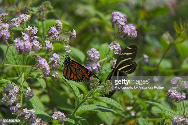Monarch butterfly and Zebra heliconian