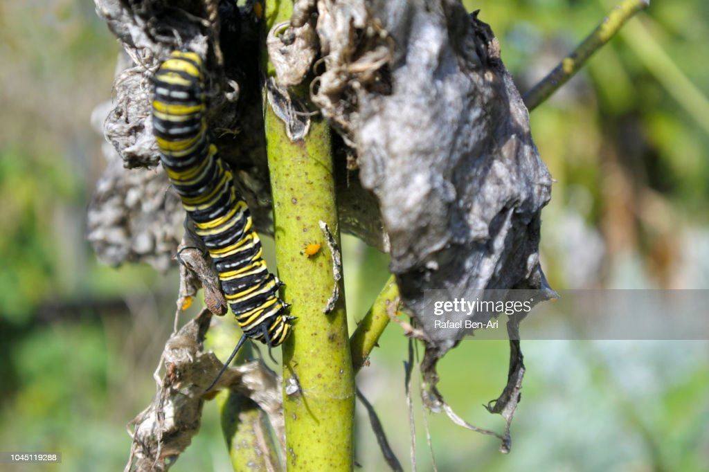 Monarch Butterfly Caterpillar and Aphid : Stock Photo