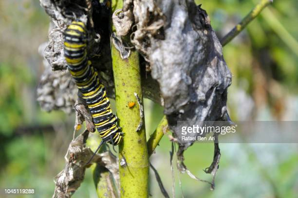 Monarch Butterfly Caterpillar and Aphid