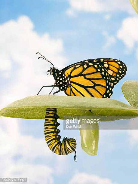 Monarch butterfly, caterpillar and pupa on leaf