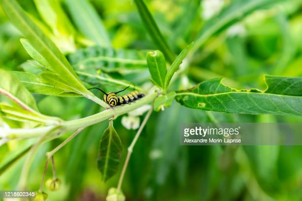 monarch butterfly (danaus plexippus) caterpillar, milkweed butterfly (subfamily danainae) eating milkweed plant in a big garden in medellín, colombia - milkweed stock pictures, royalty-free photos & images
