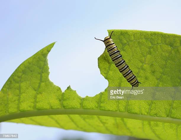 Monarch Butterfly (Danaidae plexippus) caterpillar on milkweed