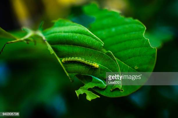 monarch butterfly caterpillar - caterpillar stock pictures, royalty-free photos & images