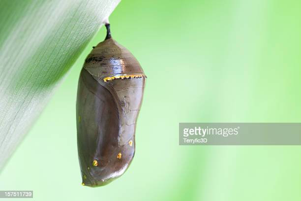 Monarch Butterfly Chrysalis with Green Background