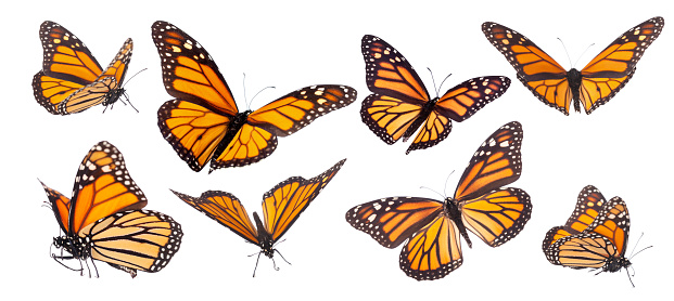 Monarch Butterfly composite isolated on white 948655508