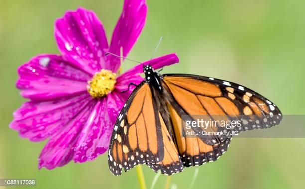 monarch butterfly, cosmos flower - arthur foto e immagini stock
