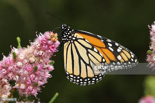 Monarch butterfly Danaus plexippus feeding from a flower Bunbury Western Australia