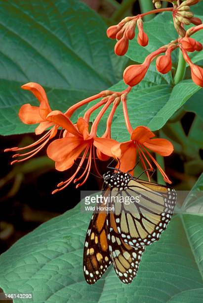 Monarch butterfly Danaus plexippus Native to the Americas now worldwide It is a Mullerian mimic with other butterflies of the genus Danaus a visual...