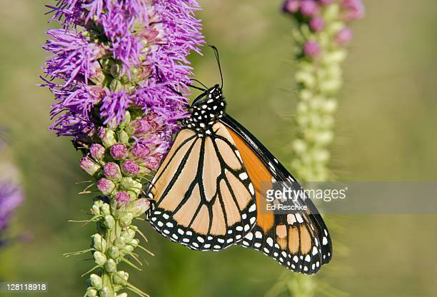 Monarch Butterfly, Danaus plexippus, nectaring on Blazing Star (Liatris sp), Michigan, USA. Host plants are milkweeds. Incredible long annual migration (some, 2500 miles).