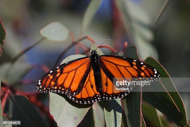 Monarch butterfly Danaus plexippus the species appeared in Australia around 1871 when its food plants were introduced Bunbury Western Australia