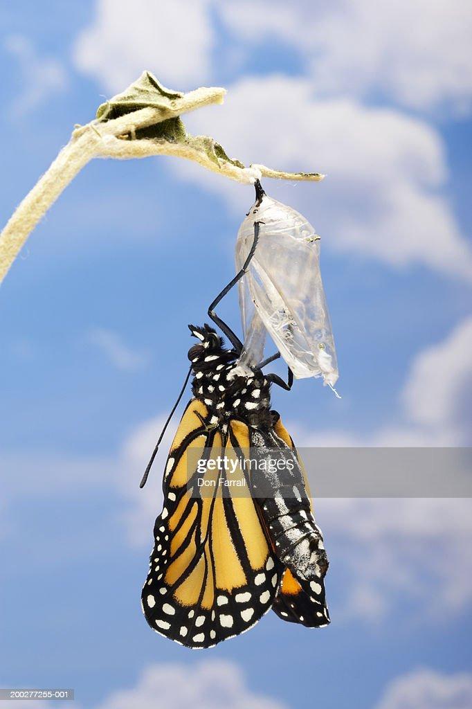 Monarch butterfly (Danaus plexippus) emerging from chrysalis : Stock Photo