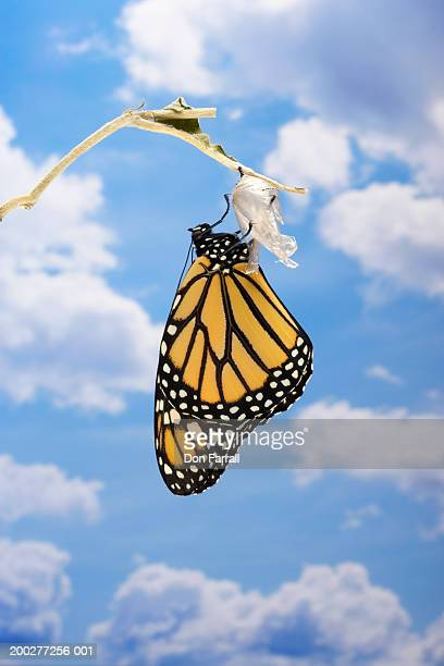 monarch butterfly (danaus plexippus) emerging from chrysalis - cocoon stock pictures, royalty-free photos & images