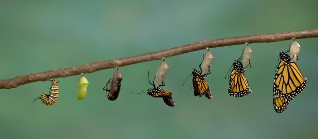 Monarch Butterfly emerging from it's chrysalis 182739033