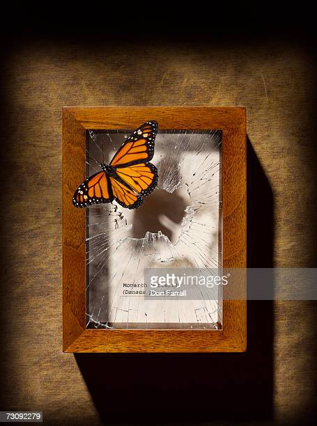 Monarch butterfly escaping display case