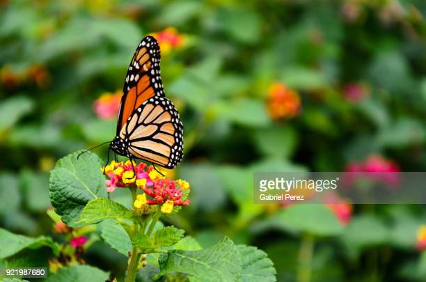 a monarch butterfly feeding on a native wildflower - milkweed stock pictures, royalty-free photos & images