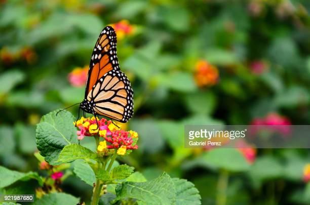 a monarch butterfly feeding on a native wildflower - mariposa monarca fotografías e imágenes de stock
