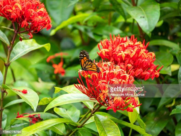 monarch butterfly (danaus plexippus) feeding on enormous red flower - milkweed stock pictures, royalty-free photos & images