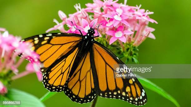 A monarch butterfly feeding on nectar