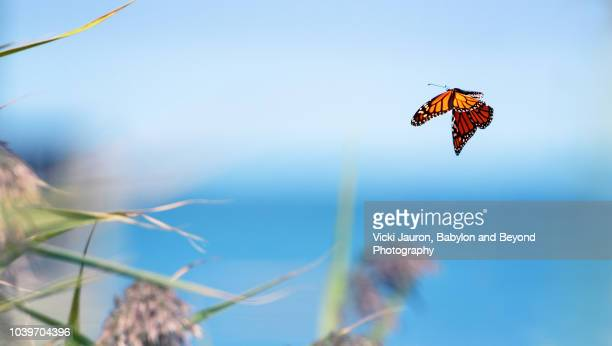 a monarch butterfly flying at the beach on long island as part of migration - schmetterling stock-fotos und bilder