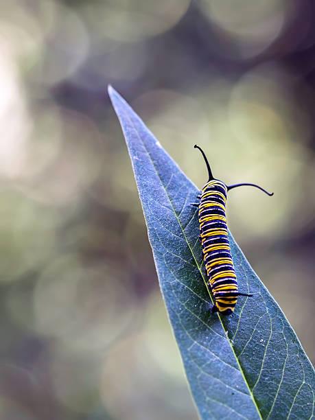 Monarch Butterfly Grub On A Leaf Wall Art