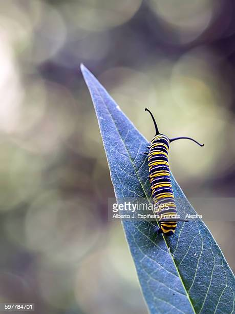 Monarch Butterfly Grub on a leaf
