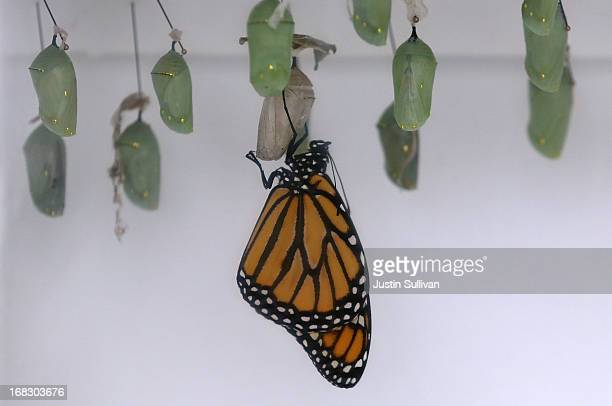 Monarch butterfly hangs from its cocoon during the first day of the 'Butterflies and Blooms' exhibit at the Conservatory of Flowers in Golden Gate...
