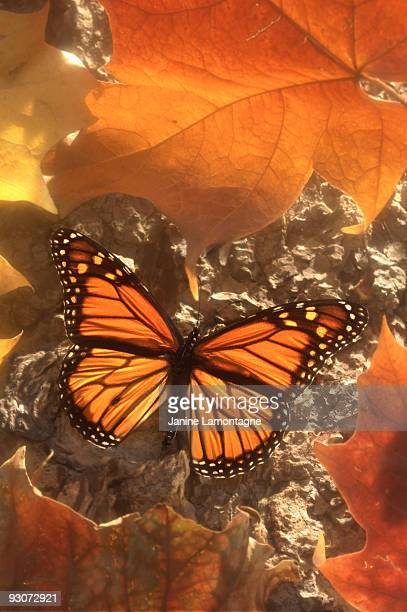 Monarch Butterfly in Autumn