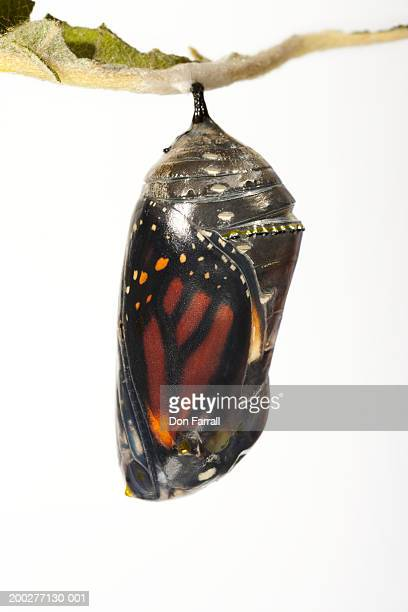 Monarch butterfly (Danaus plexippus) in chrysalis, close-up