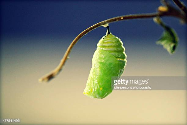 Monarch butterfly in chrysalis