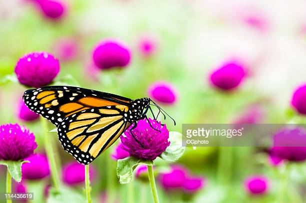 monarch butterfly in field of purple flowers - ogphoto stock pictures, royalty-free photos & images