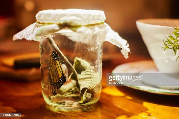 monarch butterfly in jar - heshphoto stock pictures, royalty-free photos & images