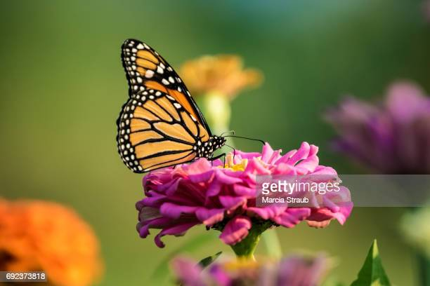Monarch Butterfly in the Colorful Garden