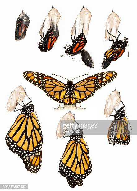 Monarch butterfly in various stages of development on white background