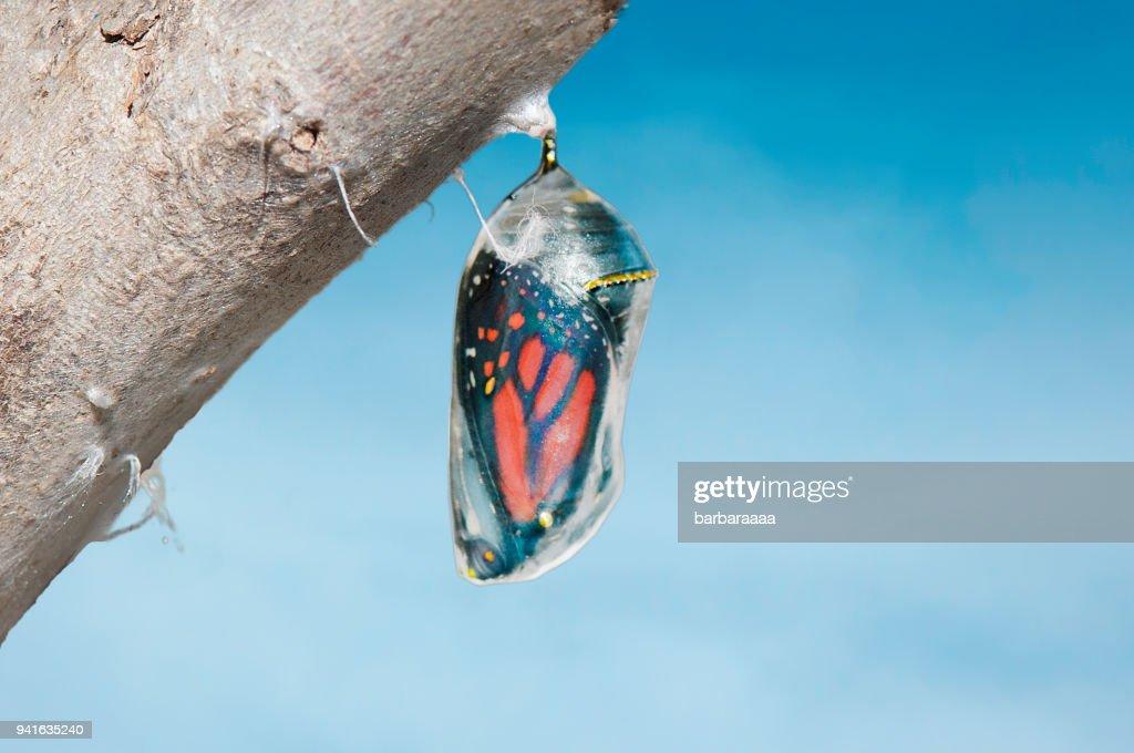 Monarch butterfly (danaus plexippus) inside chrysalis cocoon, seconds before emerging : Stock Photo