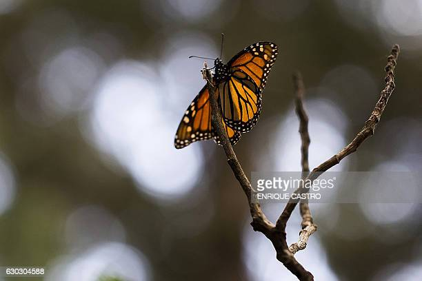 A Monarch butterfly is pictured at the oyamel firs forest in Ocampo municipality Michoacan State in Mexico on December 19 2016 Millions of monarch...