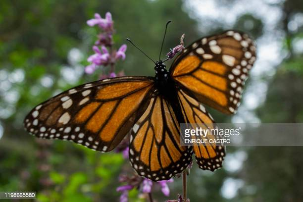 A Monarch butterfly is pictured at the Sanctuary of El Rosario Ocampo municipality Michoacan state Mexico on February 3 2020 The body of Raul...