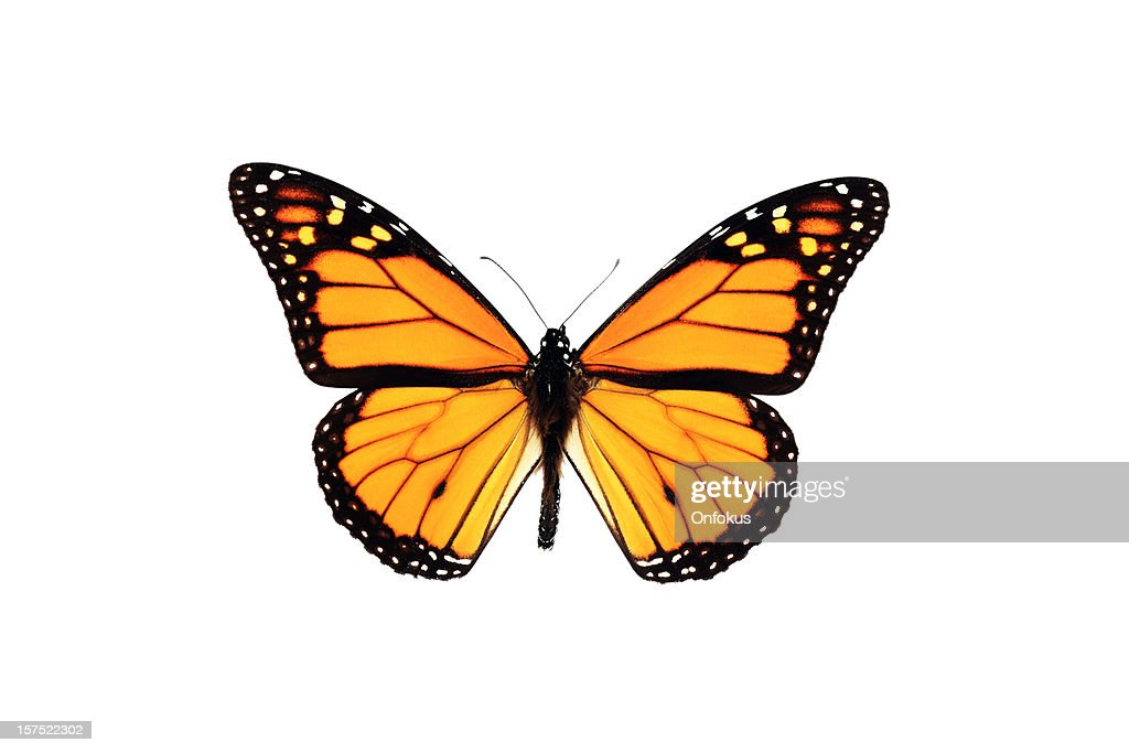 Monarch Butterfly Isolated on White Background : Stock Photo