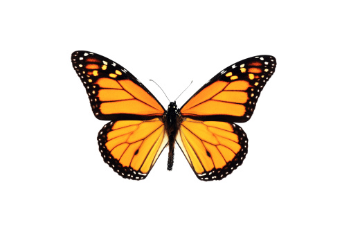 Monarch Butterfly Isolated on White Background 157522302