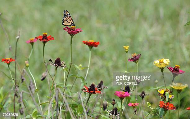 A Monarch Butterfly lands on a flower in a field near the Costa Rican Earth University where students from around the world come to study sustainable...