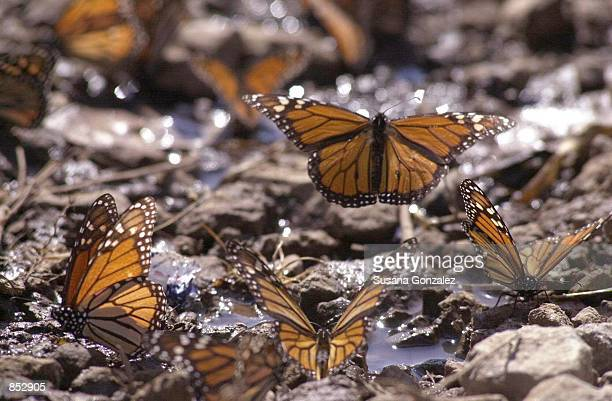 Monarch butterfly lifts off after drinking water January 29 2001 at the butterfly sanctuary in Michoacan Mexico Some 100 million or more of the...