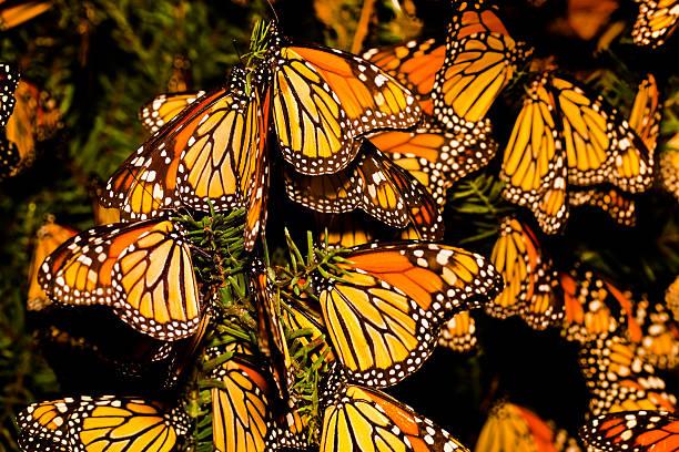 How Long Do Monarch Butterflies Live