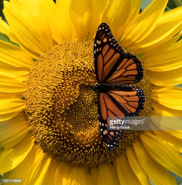 Monarch Butterfly on a Bright Yellow Sunflower with Wings Spread